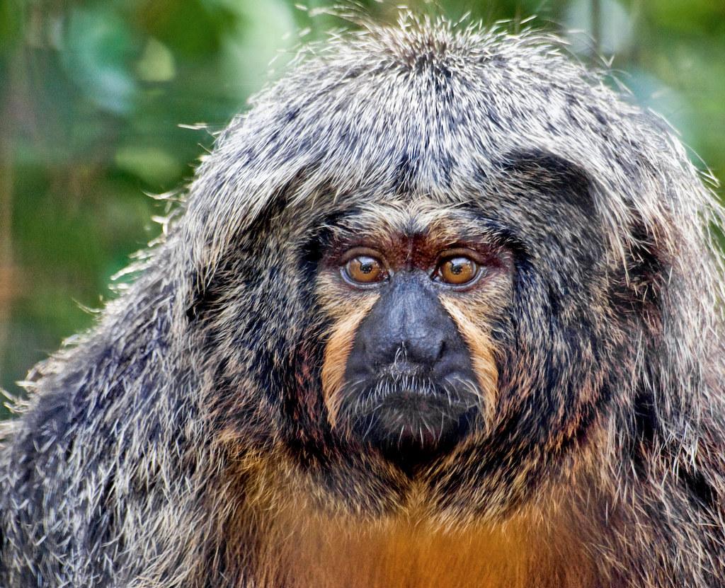 Primul serviciu video-on-demand pentru maimuțe, lansat la grădina zoologică